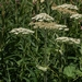 "<p><strong>Heracleum lanatum - Cow Parsnip</strong></p><p><strong>Light: </strong><img src=""http://champoegnursery.com/wp-content/uploads/2014/09/icon_full_sun.gif""/> / <img src=""http://champoegnursery.com/wp-content/uploads/2014/09/icon_partial_shade.gif""/></p><p> <strong>Water: <img src=""http://champoegnursery.com/wp-content/uploads/2014/09/icon_wet.gif""/> / <img src=""http://champoegnursery.com/wp-content/uploads/2014/09/icon_moist.gif""/></p> <p> Max Height: </strong> 9 ft. <strong> Max Width: </strong> 4 ft. </p><p><strong>Description: </strong>This tall plant has very large leaves and white flowers produced in clusters. <strong>Zone: </strong> 4</p><p><img src=""http://champoegnursery.com/wp-content/uploads/2014/09/icon_butterfly.gif""/>    <img src=""http://champoegnursery.com/wp-content/uploads/2014/09/icon_wildlife.gif""/></p>"