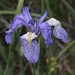 "<p><strong>Iris missouriensis - Mountain Iris</strong></p><p><strong>Light: </strong><img src=""http://champoegnursery.com/wp-content/uploads/2014/09/icon_full_sun.gif""/>  </p><p> <strong>Water: <img src=""http://champoegnursery.com/wp-content/uploads/2014/09/icon_wet.gif""/></p> <p> Max Height: </strong> 15� <strong> Max Width: </strong> 6� </p><p><strong>Description: </strong>This perennial has showy flowers and thrives in elevations from the coast to sub-alpine. Often forms dense patches. <strong>Zone: </strong>  3-8</p><p><img src=""http://champoegnursery.com/wp-content/uploads/2014/09/icon_butterfly.gif""/>  <img src=""http://champoegnursery.com/wp-content/uploads/2014/09/icon_hummingbird.gif""/>  </p>"