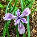 "<p><strong>Iris tenax - Oregon Iris</strong></p><p><strong>Light: </strong><img src=""http://champoegnursery.com/wp-content/uploads/2014/09/icon_full_sun.gif""/> / <img src=""http://champoegnursery.com/wp-content/uploads/2014/09/icon_partial_shade.gif""/></p><p> <strong>Water: <img src=""http://champoegnursery.com/wp-content/uploads/2014/09/icon_moist.gif""/></p> <p> Max Height: </strong> 16  in. <strong> Max Width: </strong> 24  in. </p><p><strong>Description: </strong>This plant produces purple to blue, or sometimes white, flowers in the late spring. <strong>Zone: </strong> 7</p><p><img src=""http://champoegnursery.com/wp-content/uploads/2014/09/icon_butterfly.gif""/>    </p>"