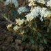 "<p><strong>Ledum groenlandicum - Labrador Tea</strong></p><p><strong>Light: </strong><img src=""http://champoegnursery.com/wp-content/uploads/2014/09/icon_full_sun.gif""/> / <img src=""http://champoegnursery.com/wp-content/uploads/2014/09/icon_partial_shade.gif""/></p><p> <strong>Water: <img src=""http://champoegnursery.com/wp-content/uploads/2014/09/icon_wet.gif""/> / <img src=""http://champoegnursery.com/wp-content/uploads/2014/09/icon_moist.gif""/></p> <p> Max Height: </strong> 5 ft. <strong> Max Width: </strong> 5 ft. </p><p><strong>Description: </strong>This evergreen shrub has aromatic leaves that curl down at the edges.  It produces large clusters of small white flowers in early summer. <strong>Zone: </strong>  7-9</p><p><img src=""http://champoegnursery.com/wp-content/uploads/2014/09/icon_butterfly.gif""/>    <img src=""http://champoegnursery.com/wp-content/uploads/2014/09/icon_wildlife.gif""/></p>"