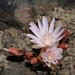 "<p><strong>Lewisia rediviva - Bitterroot</strong></p><p><strong>Light: </strong><img src=""http://champoegnursery.com/wp-content/uploads/2014/09/icon_full_sun.gif""/> / <img src=""http://champoegnursery.com/wp-content/uploads/2014/09/icon_partial_shade.gif""/></p><p> <strong>Water: <img src=""http://champoegnursery.com/wp-content/uploads/2014/09/icon_dry.gif""/></p> <p> Max Height: </strong> 2  in. <strong> Max Width: </strong> 6  in. </p><p><strong>Description: </strong>This herbaceous plant produces a pink/white flower. <strong>Zone: </strong>  7-9</p><p><img src=""http://champoegnursery.com/wp-content/uploads/2014/09/icon_butterfly.gif""/>    <img src=""http://champoegnursery.com/wp-content/uploads/2014/09/icon_wildlife.gif""/></p>"