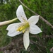 <p><strong>Lilium washingtonianum - Washington Lily</strong></p>