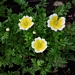 "<p><strong>Limnanthes douglasii - Meadow-foam</strong></p><p><strong>Light: </strong><img src=""http://champoegnursery.com/wp-content/uploads/2014/09/icon_full_sun.gif""/> / <img src=""http://champoegnursery.com/wp-content/uploads/2014/09/icon_partial_shade.gif""/></p><p> <strong>Water: <img src=""http://champoegnursery.com/wp-content/uploads/2014/09/icon_wet.gif""/> / <img src=""http://champoegnursery.com/wp-content/uploads/2014/09/icon_moist.gif""/></p> <p> Max Height: </strong> 6  in. <strong> Max Width: </strong> 6  in. </p><p><strong>Description: </strong>This herbaceous annual produces many small white flowers with yellow centers. <strong>Zone: </strong>  7-9</p><p><img src=""http://champoegnursery.com/wp-content/uploads/2014/09/icon_butterfly.gif""/>    <img src=""http://champoegnursery.com/wp-content/uploads/2014/09/icon_wildlife.gif""/></p>"