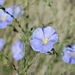 "<p><strong>Linum perenne var. lewisii - Wild Blue Flax</strong></p><p><strong>Light: </strong><img src=""http://champoegnursery.com/wp-content/uploads/2014/09/icon_full_sun.gif""/> / <img src=""http://champoegnursery.com/wp-content/uploads/2014/09/icon_partial_shade.gif""/></p><p> <strong>Water: <img src=""http://champoegnursery.com/wp-content/uploads/2014/09/icon_dry.gif""/> / <img src=""http://champoegnursery.com/wp-content/uploads/2014/09/icon_moist.gif""/></p> <p> Max Height: </strong> 24  in. <strong> Max Width: </strong> 24  in. </p><p><strong>Description: </strong>This herbaceous plant produces vibrant blue flowers in the spring and summer. <strong>Zone: </strong>  7-9</p><p><img src=""http://champoegnursery.com/wp-content/uploads/2014/09/icon_butterfly.gif""/>    <img src=""http://champoegnursery.com/wp-content/uploads/2014/09/icon_wildlife.gif""/></p>"