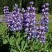 "<p><strong>Lupinus arcticus - Arctic Lupine</strong></p><p><strong>Light: </strong><img src=""http://champoegnursery.com/wp-content/uploads/2014/09/icon_full_sun.gif""/>  </p><p> <strong>Water: <img src=""http://champoegnursery.com/wp-content/uploads/2014/09/icon_moist.gif""/></p> <p> Max Height: </strong> 36  in. <strong> Max Width: </strong> 18  in. </p><p><strong>Description: </strong>Perennial herbaceous plant growing from a branched rhizome.  Its erect stems terminate with bluish pea-like flowers. <strong>Zone: </strong>  7-9</p><p><img src=""http://champoegnursery.com/wp-content/uploads/2014/09/icon_butterfly.gif""/>    <img src=""http://champoegnursery.com/wp-content/uploads/2014/09/icon_wildlife.gif""/></p>"