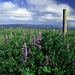 "<p><strong>Lupinus rivularis - Riverbank Lupine</strong></p><p><strong>Light: </strong><img src=""http://champoegnursery.com/wp-content/uploads/2014/09/icon_full_sun.gif""/> / <img src=""http://champoegnursery.com/wp-content/uploads/2014/09/icon_partial_shade.gif""/></p><p> <strong>Water: <img src=""http://champoegnursery.com/wp-content/uploads/2014/09/icon_wet.gif""/> / <img src=""http://champoegnursery.com/wp-content/uploads/2014/09/icon_moist.gif""/></p> <p> Max Height: </strong> 36  in. <strong> Max Width: </strong> 24  in. </p><p><strong>Description: </strong>This perennial has delicate leaves and produces blue/purple flowers from May through September. <strong>Zone: </strong>  7-9</p><p><img src=""http://champoegnursery.com/wp-content/uploads/2014/09/icon_butterfly.gif""/>    <img src=""http://champoegnursery.com/wp-content/uploads/2014/09/icon_wildlife.gif""/></p>"