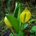 <p><strong>Lysichitum americanum - Skunk Cabbage</strong></p>