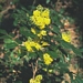 "<p><strong>Mahonia aquifolium - Tall Oregon Grape</strong></p><p><strong>Light: </strong><img src=""http://champoegnursery.com/wp-content/uploads/2014/09/icon_full_sun.gif""/>  </p><p> <strong>Water: <img src=""http://champoegnursery.com/wp-content/uploads/2014/09/icon_dry.gif""/> / <img src=""http://champoegnursery.com/wp-content/uploads/2014/09/icon_moist.gif""/></p> <p> Max Height: </strong> 6 ft. <strong> Max Width: </strong> 4 ft. </p><p><strong>Description: </strong>This is an evergreen shrub with bright yellow flowers and dark purple berries in grape-like clusters.  Its leaves are spiked like holly. <strong>Zone: </strong>  4-7</p><p><img src=""http://champoegnursery.com/wp-content/uploads/2014/09/icon_butterfly.gif""/>  <img src=""http://champoegnursery.com/wp-content/uploads/2014/09/icon_hummingbird.gif""/>  <img src=""http://champoegnursery.com/wp-content/uploads/2014/09/icon_wildlife.gif""/></p>"