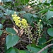 <p><strong>Mahonia nervosa - Long-leaf Oregon Grape</strong></p>