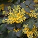 "<p><strong>Mahonia repens - Creeping Oregon Grape</strong></p><p><strong>Light: </strong><img src=""http://champoegnursery.com/wp-content/uploads/2014/09/icon_full_sun.gif""/>  </p><p> <strong>Water: <img src=""http://champoegnursery.com/wp-content/uploads/2014/09/icon_dry.gif""/> / <img src=""http://champoegnursery.com/wp-content/uploads/2014/09/icon_moist.gif""/></p> <p> Max Height: </strong> 10  in. <strong> Max Width: </strong> 2 ft. </p><p><strong>Description: </strong>This evergreen, low-growing shrub produces small yellow flowers and blue berries. <strong>Zone: </strong>  3-6</p><p><img src=""http://champoegnursery.com/wp-content/uploads/2014/09/icon_butterfly.gif""/>  <img src=""http://champoegnursery.com/wp-content/uploads/2014/09/icon_hummingbird.gif""/>  <img src=""http://champoegnursery.com/wp-content/uploads/2014/09/icon_wildlife.gif""/></p>"