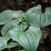 <p><strong>Maianthemum dilatatum - False Lily of the Valley</strong></p>