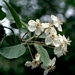 "<p><strong>Malus fusca - Western Crabapple</strong></p><p><strong>Light: </strong><img src=""http://champoegnursery.com/wp-content/uploads/2014/09/icon_full_sun.gif""/> / <img src=""http://champoegnursery.com/wp-content/uploads/2014/09/icon_partial_shade.gif""/></p><p> <strong>Water: <img src=""http://champoegnursery.com/wp-content/uploads/2014/09/icon_wet.gif""/> / <img src=""http://champoegnursery.com/wp-content/uploads/2014/09/icon_moist.gif""/></p> <p> Max Height: </strong> 40 ft. <strong> Max Width: </strong> 30 ft. </p><p><strong>Description: </strong>This deciduous tree produces fragrant white and pink flowers in the spring, which turn to very small apples in the summer.  In the fall the foliage turns to a reddish color.  It prefers moist soil. <strong>Zone: </strong>  6-7</p><p><img src=""http://champoegnursery.com/wp-content/uploads/2014/09/icon_butterfly.gif""/>    <img src=""http://champoegnursery.com/wp-content/uploads/2014/09/icon_wildlife.gif""/></p>"