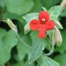 <p><strong>Mimulus cardinalis - Red Monkey Flower</strong></p>