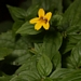 <p><strong>Mimulus dentatus - Yellow Monkey flower</strong></p>