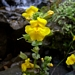<p><strong>Mimulus guttatus - Common Monkey Flower</strong></p>