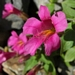 "<p><strong>Mimulus lewisii - Lewis Monkey Flower</strong></p><p><strong>Light: </strong><img src=""http://champoegnursery.com/wp-content/uploads/2014/09/icon_full_sun.gif""/> / <img src=""http://champoegnursery.com/wp-content/uploads/2014/09/icon_partial_shade.gif""/></p><p> <strong>Water: <img src=""http://champoegnursery.com/wp-content/uploads/2014/09/icon_wet.gif""/> / <img src=""http://champoegnursery.com/wp-content/uploads/2014/09/icon_moist.gif""/></p> <p> Max Height: </strong> 3 ft. <strong> Max Width: </strong> 2 ft. </p><p><strong>Description: </strong>This perennial produces rose-red to pink flowers with light green foliage. <strong>Zone: </strong>  7-9</p><p><img src=""http://champoegnursery.com/wp-content/uploads/2014/09/icon_butterfly.gif""/>  <img src=""http://champoegnursery.com/wp-content/uploads/2014/09/icon_hummingbird.gif""/>  <img src=""http://champoegnursery.com/wp-content/uploads/2014/09/icon_wildlife.gif""/></p>"