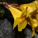 "<p><strong>Mimulus tilingii - Alpine Monkey Flower</strong></p><p><strong>Light: </strong><img src=""http://champoegnursery.com/wp-content/uploads/2014/09/icon_full_sun.gif""/> / <img src=""http://champoegnursery.com/wp-content/uploads/2014/09/icon_partial_shade.gif""/></p><p> <strong>Water: <img src=""http://champoegnursery.com/wp-content/uploads/2014/09/icon_wet.gif""/> / <img src=""http://champoegnursery.com/wp-content/uploads/2014/09/icon_moist.gif""/></p> <p> Max Height: </strong> 1 ft. <strong> Max Width: </strong> 6  in. </p><p><strong>Description: </strong>A perennial with tubular, yellow flowers and light green foliage. <strong>Zone: </strong>  7-9</p><p><img src=""http://champoegnursery.com/wp-content/uploads/2014/09/icon_butterfly.gif""/>  <img src=""http://champoegnursery.com/wp-content/uploads/2014/09/icon_hummingbird.gif""/>  <img src=""http://champoegnursery.com/wp-content/uploads/2014/09/icon_wildlife.gif""/></p>"