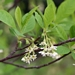 <p><strong>Oemleria cerasiformis - Indian Plum</strong></p>