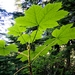 "<p><strong>Oplopanax horridus - 'Devil''''s Club'</strong></p><p><strong>Light: </strong><img src=""http://champoegnursery.com/wp-content/uploads/2014/09/icon_full_shade.gif""/> / <img src=""http://champoegnursery.com/wp-content/uploads/2014/09/icon_partial_shade.gif""/></p><p> <strong>Water: <img src=""http://champoegnursery.com/wp-content/uploads/2014/09/icon_wet.gif""/> / <img src=""http://champoegnursery.com/wp-content/uploads/2014/09/icon_moist.gif""/></p> <p> Max Height: </strong> 10 ft. <strong> Max Width: </strong> 15 ft. </p><p><strong>Description: </strong>This is a very thorny plant with thick stems, large leaves and bright red clusters of seed bearing berries. <strong>Zone: </strong>  7-9</p><p><img src=""http://champoegnursery.com/wp-content/uploads/2014/09/icon_butterfly.gif""/>    <img src=""http://champoegnursery.com/wp-content/uploads/2014/09/icon_wildlife.gif""/></p>"