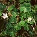 <p><strong>Oxalis oregana - Sourgrass/Redwood Sorrel</strong></p>