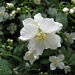 "<p><strong>Philadelphus lewisii - Mock Orange</strong></p><p><strong>Light: </strong><img src=""http://champoegnursery.com/wp-content/uploads/2014/09/icon_full_sun.gif""/> / <img src=""http://champoegnursery.com/wp-content/uploads/2014/09/icon_partial_shade.gif""/></p><p> <strong>Water: <img src=""http://champoegnursery.com/wp-content/uploads/2014/09/icon_dry.gif""/> / <img src=""http://champoegnursery.com/wp-content/uploads/2014/09/icon_moist.gif""/></p> <p> Max Height: </strong> 8 ft. <strong> Max Width: </strong> 8 ft. </p><p><strong>Description: </strong>This deciduous shrub produces fragrant, white flowers. <strong>Zone: </strong>  3-9</p><p><img src=""http://champoegnursery.com/wp-content/uploads/2014/09/icon_butterfly.gif""/>    <img src=""http://champoegnursery.com/wp-content/uploads/2014/09/icon_wildlife.gif""/></p>"
