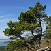 "<p><strong>Pinus contorta ssp. contorta - Shore Pine</strong></p><p><strong>Light: </strong><img src=""http://champoegnursery.com/wp-content/uploads/2014/09/icon_full_sun.gif""/> / <img src=""http://champoegnursery.com/wp-content/uploads/2014/09/icon_partial_shade.gif""/></p><p> <strong>Water: <img src=""http://champoegnursery.com/wp-content/uploads/2014/09/icon_moist.gif""/></p> <p> Max Height: </strong> 50 ft. <strong> Max Width: </strong> 20 ft. </p><p><strong>Description: </strong>This tree is known for its crooked shape, fast growth and ability to tolerate soils with low levels of nutrients. <strong>Zone: </strong>  5-6</p><p>    <img src=""http://champoegnursery.com/wp-content/uploads/2014/09/icon_wildlife.gif""/></p>"