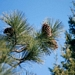 "<p><strong>Pinus jeffreyi - Jeffrey Pine</strong></p><p><strong>Light: </strong><img src=""http://champoegnursery.com/wp-content/uploads/2014/09/icon_full_sun.gif""/> / <img src=""http://champoegnursery.com/wp-content/uploads/2014/09/icon_partial_shade.gif""/></p><p> <strong>Water: <img src=""http://champoegnursery.com/wp-content/uploads/2014/09/icon_dry.gif""/> / <img src=""http://champoegnursery.com/wp-content/uploads/2014/09/icon_moist.gif""/></p> <p> Max Height: </strong> 120 ft. <strong> Max Width: </strong> 20 ft. </p><p><strong>Description: </strong>This tree is similar to ponderosa pine, but its bark is darker and its cones are larger. <strong>Zone: </strong> 4</p><p>    <img src=""http://champoegnursery.com/wp-content/uploads/2014/09/icon_wildlife.gif""/></p>"
