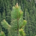 "<p><strong>Pinus ponderosa - Ponderosa Pine</strong></p><p><strong>Light: </strong><img src=""http://champoegnursery.com/wp-content/uploads/2014/09/icon_full_sun.gif""/> / <img src=""http://champoegnursery.com/wp-content/uploads/2014/09/icon_partial_shade.gif""/></p><p> <strong>Water: <img src=""http://champoegnursery.com/wp-content/uploads/2014/09/icon_dry.gif""/> / <img src=""http://champoegnursery.com/wp-content/uploads/2014/09/icon_moist.gif""/></p> <p> Max Height: </strong> 180 ft. <strong> Max Width: </strong> 20 ft. </p><p><strong>Description: </strong>This tree is tolerant of both wetness and dryness.  It is a very sturdy tree and prefers sun or partial shade. <strong>Zone: </strong>  3-7</p><p>    <img src=""http://champoegnursery.com/wp-content/uploads/2014/09/icon_wildlife.gif""/></p>"