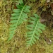 <p><strong>Polypodium glycyrrhiza - Licorice Fern</strong></p>