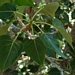 <p><strong>Populus trichocarpa - Black Cottonwood</strong></p>