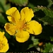 "<p><strong>Potentilla pacifica - Pacific Silverweed</strong></p><p><strong>Light: </strong><img src=""http://champoegnursery.com/wp-content/uploads/2014/09/icon_full_sun.gif""/> / <img src=""http://champoegnursery.com/wp-content/uploads/2014/09/icon_partial_shade.gif""/></p><p> <strong>Water: <img src=""http://champoegnursery.com/wp-content/uploads/2014/09/icon_wet.gif""/> / <img src=""http://champoegnursery.com/wp-content/uploads/2014/09/icon_moist.gif""/></p> <p> Max Height: </strong> 16  in. <strong> Max Width: </strong> 24  in. </p><p><strong>Description: </strong>This perennial has green foliage which is fuzzy underneath and produces a single yellow flower.  The roots are edible when boiled. <strong>Zone: </strong>  7-9</p><p><img src=""http://champoegnursery.com/wp-content/uploads/2014/09/icon_butterfly.gif""/>    <img src=""http://champoegnursery.com/wp-content/uploads/2014/09/icon_wildlife.gif""/></p>"