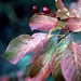 "<p><strong>Prunus virginiana - Common Chokecherry</strong></p><p><strong>Light: </strong><img src=""http://champoegnursery.com/wp-content/uploads/2014/09/icon_full_sun.gif""/> / <img src=""http://champoegnursery.com/wp-content/uploads/2014/09/icon_partial_shade.gif""/></p><p> <strong>Water: <img src=""http://champoegnursery.com/wp-content/uploads/2014/09/icon_dry.gif""/> / <img src=""http://champoegnursery.com/wp-content/uploads/2014/09/icon_moist.gif""/></p> <p> Max Height: </strong> 30 ft. <strong> Max Width: </strong> 20 ft. </p><p><strong>Description: </strong>This deciduous tree produces long, showy racemes of white flowers and dark red to purple fruit. It is effective at controlling erosion. <strong>Zone: </strong>  3-7</p><p><img src=""http://champoegnursery.com/wp-content/uploads/2014/09/icon_butterfly.gif""/>    <img src=""http://champoegnursery.com/wp-content/uploads/2014/09/icon_wildlife.gif""/></p>"