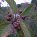 "<p><strong>Rhamnus purshiana - Cascara</strong></p><p><strong>Light: </strong><img src=""http://champoegnursery.com/wp-content/uploads/2014/09/icon_full_sun.gif""/> / <img src=""http://champoegnursery.com/wp-content/uploads/2014/09/icon_partial_shade.gif""/></p><p> <strong>Water: <img src=""http://champoegnursery.com/wp-content/uploads/2014/09/icon_dry.gif""/> / <img src=""http://champoegnursery.com/wp-content/uploads/2014/09/icon_moist.gif""/></p> <p> Max Height: </strong> 30 ft. <strong> Max Width: </strong> 15 ft. </p><p><strong>Description: </strong>This deciduous shrub or small tree has brown bark which is used as a laxative and produces dark purple berries. <strong>Zone: </strong>  5-7</p><p><img src=""http://champoegnursery.com/wp-content/uploads/2014/09/icon_butterfly.gif""/>    <img src=""http://champoegnursery.com/wp-content/uploads/2014/09/icon_wildlife.gif""/></p>"
