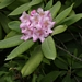 "<p><strong>Rhododendron macrophyllum - Pacific Rhododendron</strong></p><p><strong>Light: </strong><img src=""http://champoegnursery.com/wp-content/uploads/2014/09/icon_full_sun.gif""/> / <img src=""http://champoegnursery.com/wp-content/uploads/2014/09/icon_partial_shade.gif""/></p><p> <strong>Water: <img src=""http://champoegnursery.com/wp-content/uploads/2014/09/icon_dry.gif""/> / <img src=""http://champoegnursery.com/wp-content/uploads/2014/09/icon_moist.gif""/></p> <p> Max Height: </strong> 12 ft. <strong> Max Width: </strong> 10 ft. </p><p><strong>Description: </strong>This evergreen shrub blooms from May to June with magenta flowers. <strong>Zone: </strong>  6-8</p><p><img src=""http://champoegnursery.com/wp-content/uploads/2014/09/icon_butterfly.gif""/>    <img src=""http://champoegnursery.com/wp-content/uploads/2014/09/icon_wildlife.gif""/></p>"