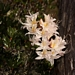 "<p><strong>Rhododendron occidentale - Western Azalea</strong></p><p><strong>Light: </strong><img src=""http://champoegnursery.com/wp-content/uploads/2014/09/icon_full_sun.gif""/> / <img src=""http://champoegnursery.com/wp-content/uploads/2014/09/icon_partial_shade.gif""/></p><p> <strong>Water: <img src=""http://champoegnursery.com/wp-content/uploads/2014/09/icon_moist.gif""/></p> <p> Max Height: </strong> 8 ft. <strong> Max Width: </strong> 8 ft. </p><p><strong>Description: </strong>Deciduous shrub with fragrant white, light pink to yellow tubular flowers in late spring and early summer. <strong>Zone: </strong>  7-9</p><p><img src=""http://champoegnursery.com/wp-content/uploads/2014/09/icon_butterfly.gif""/>  <img src=""http://champoegnursery.com/wp-content/uploads/2014/09/icon_hummingbird.gif""/>  <img src=""http://champoegnursery.com/wp-content/uploads/2014/09/icon_wildlife.gif""/></p>"