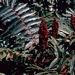 <p><strong>Rhus glabra - Smooth Sumac</strong></p>