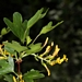 <p><strong>Ribes aureum - Golden Currant</strong></p>