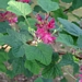 "<p><strong>Ribes sanguineum - Red Flowering Currant</strong></p><p><strong>Light: </strong><img src=""http://champoegnursery.com/wp-content/uploads/2014/09/icon_full_sun.gif""/> / <img src=""http://champoegnursery.com/wp-content/uploads/2014/09/icon_partial_shade.gif""/></p><p> <strong>Water: <img src=""http://champoegnursery.com/wp-content/uploads/2014/09/icon_dry.gif""/></p> <p> Max Height: </strong> 9 ft. <strong> Max Width: </strong> 7 ft. </p><p><strong>Description: </strong>This deciduous shrub produces pink/red clusters of flowers which turn to berries in the summer.  Prefers dry, open areas. <strong>Zone: </strong> 6</p><p><img src=""http://champoegnursery.com/wp-content/uploads/2014/09/icon_butterfly.gif""/>  <img src=""http://champoegnursery.com/wp-content/uploads/2014/09/icon_hummingbird.gif""/>  <img src=""http://champoegnursery.com/wp-content/uploads/2014/09/icon_wildlife.gif""/></p>"