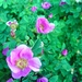 "<p><strong>Rosa nutkana - Nootka Rose</strong></p><p><strong>Light: </strong><img src=""http://champoegnursery.com/wp-content/uploads/2014/09/icon_full_sun.gif""/> / <img src=""http://champoegnursery.com/wp-content/uploads/2014/09/icon_partial_shade.gif""/></p><p> <strong>Water: <img src=""http://champoegnursery.com/wp-content/uploads/2014/09/icon_dry.gif""/> / <img src=""http://champoegnursery.com/wp-content/uploads/2014/09/icon_moist.gif""/></p> <p> Max Height: </strong> 6 ft. <strong> Max Width: </strong> 4 ft. </p><p><strong>Description: </strong>This deciduous shrub has pink flowers that are about 2 inches across followed by large, showy red hips.  It grows in dry or moist soils and prefers full sun to partial shade. <strong>Zone: </strong>  3-6</p><p><img src=""http://champoegnursery.com/wp-content/uploads/2014/09/icon_butterfly.gif""/>    <img src=""http://champoegnursery.com/wp-content/uploads/2014/09/icon_wildlife.gif""/></p>"