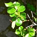 "<p><strong>Rosa pisocarpa - Clustered Wild Rose</strong></p><p><strong>Light: </strong><img src=""http://champoegnursery.com/wp-content/uploads/2014/09/icon_full_sun.gif""/> / <img src=""http://champoegnursery.com/wp-content/uploads/2014/09/icon_partial_shade.gif""/></p><p> <strong>Water: <img src=""http://champoegnursery.com/wp-content/uploads/2014/09/icon_wet.gif""/> / <img src=""http://champoegnursery.com/wp-content/uploads/2014/09/icon_moist.gif""/></p> <p> Max Height: </strong> 6 ft. <strong> Max Width: </strong> 4 ft. </p><p><strong>Description: </strong>This rose has small pink flowers in clusters in May followed by purplish pear-shaped hips. <strong>Zone: </strong> 6</p><p><img src=""http://champoegnursery.com/wp-content/uploads/2014/09/icon_butterfly.gif""/>    <img src=""http://champoegnursery.com/wp-content/uploads/2014/09/icon_wildlife.gif""/></p>"