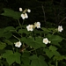 "<p><strong>Rubus parviflorus - Thimbleberry</strong></p><p><strong>Light: </strong><img src=""http://champoegnursery.com/wp-content/uploads/2014/09/icon_full_sun.gif""/> / <img src=""http://champoegnursery.com/wp-content/uploads/2014/09/icon_partial_shade.gif""/></p><p> <strong>Water: <img src=""http://champoegnursery.com/wp-content/uploads/2014/09/icon_dry.gif""/> / <img src=""http://champoegnursery.com/wp-content/uploads/2014/09/icon_moist.gif""/></p> <p> Max Height: </strong> 6 ft. <strong> Max Width: </strong> 3 ft. </p><p><strong>Description: </strong>This deciduous shrub has large, soft leaves and produces large single white flowers in spring that turn to orange-red berries.  It will form dense thickets.  It prefers partial shade and any soil. <strong>Zone: </strong>  3-7</p><p><img src=""http://champoegnursery.com/wp-content/uploads/2014/09/icon_butterfly.gif""/>    <img src=""http://champoegnursery.com/wp-content/uploads/2014/09/icon_wildlife.gif""/></p>"