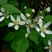 "<p><strong>Rubus ursinus - Trailing Blackberry</strong></p><p><strong>Light: </strong><img src=""http://champoegnursery.com/wp-content/uploads/2014/09/icon_full_sun.gif""/> / <img src=""http://champoegnursery.com/wp-content/uploads/2014/09/icon_partial_shade.gif""/></p><p> <strong>Water: <img src=""http://champoegnursery.com/wp-content/uploads/2014/09/icon_moist.gif""/></p> <p> Max Height: </strong> 12 in. <strong> Max Width: </strong> 6 ft. </p><p><strong>Description: </strong>A deciduous vine which spreads easily along the ground in full sun to partial shade, has numerous edible black berries in summer. <strong>Zone: </strong>  5-10</p><p><img src=""http://champoegnursery.com/wp-content/uploads/2014/09/icon_butterfly.gif""/>    <img src=""http://champoegnursery.com/wp-content/uploads/2014/09/icon_wildlife.gif""/></p>"