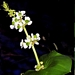 "<p><strong>Sagittaria latifolia - Wapato</strong></p><p><strong>Light: </strong><img src=""http://champoegnursery.com/wp-content/uploads/2014/09/icon_full_sun.gif""/> / <img src=""http://champoegnursery.com/wp-content/uploads/2014/09/icon_partial_shade.gif""/></p><p> <strong>Water: <img src=""http://champoegnursery.com/wp-content/uploads/2014/09/icon_wet.gif""/></p> <p> Max Height: </strong> 36  in. <strong> Max Width: </strong> 24  in. </p><p><strong>Description: </strong>This perennial has arrowhead-shaped leaves and produces white flowers with only three petals.  The rhizomes and tubers were eaten by Native peoples. <strong>Zone: </strong>  7-9</p><p><img src=""http://champoegnursery.com/wp-content/uploads/2014/09/icon_butterfly.gif""/>    <img src=""http://champoegnursery.com/wp-content/uploads/2014/09/icon_wildlife.gif""/></p>"