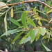 "<p><strong>Salix lasiandra - Pacific Willow</strong></p><p><strong>Light: </strong><img src=""http://champoegnursery.com/wp-content/uploads/2014/09/icon_full_sun.gif""/> / <img src=""http://champoegnursery.com/wp-content/uploads/2014/09/icon_partial_shade.gif""/></p><p> <strong>Water: <img src=""http://champoegnursery.com/wp-content/uploads/2014/09/icon_wet.gif""/> / <img src=""http://champoegnursery.com/wp-content/uploads/2014/09/icon_moist.gif""/></p> <p> Max Height: </strong> 30 ft. <strong> Max Width: </strong> 10 ft. </p><p><strong>Description: </strong>This small tree to large shrub has yellow/green bark and elongated leaves.  Its branches and root systems are flexible.  It is fast growing and has showy catkins in spring. <strong>Zone: </strong>  2-7</p><p><img src=""http://champoegnursery.com/wp-content/uploads/2014/09/icon_butterfly.gif""/>    <img src=""http://champoegnursery.com/wp-content/uploads/2014/09/icon_wildlife.gif""/></p>"