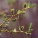 <p><strong>Salix lemmonii - Lemon Willow</strong></p>