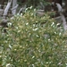 "<p><strong>Salix scouleriana - Scouler Willow</strong></p><p><strong>Light: </strong><img src=""http://champoegnursery.com/wp-content/uploads/2014/09/icon_full_sun.gif""/> / <img src=""http://champoegnursery.com/wp-content/uploads/2014/09/icon_partial_shade.gif""/></p><p> <strong>Water: <img src=""http://champoegnursery.com/wp-content/uploads/2014/09/icon_dry.gif""/> / <img src=""http://champoegnursery.com/wp-content/uploads/2014/09/icon_moist.gif""/></p> <p> Max Height: </strong> 35 ft. <strong> Max Width: </strong> 10 ft. </p><p><strong>Description: </strong>This small deciduous tree  produces large catkins in spring and has elongated leaves.  Its branches and root systems are flexible.  It is fast growing. <strong>Zone: </strong>  2-7</p><p><img src=""http://champoegnursery.com/wp-content/uploads/2014/09/icon_butterfly.gif""/>    <img src=""http://champoegnursery.com/wp-content/uploads/2014/09/icon_wildlife.gif""/></p>"