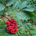 "<p><strong>Sambucus racemosa - Red Elderberry</strong></p><p><strong>Light: </strong><img src=""http://champoegnursery.com/wp-content/uploads/2014/09/icon_full_sun.gif""/> / <img src=""http://champoegnursery.com/wp-content/uploads/2014/09/icon_partial_shade.gif""/></p><p> <strong>Water: <img src=""http://champoegnursery.com/wp-content/uploads/2014/09/icon_dry.gif""/> / <img src=""http://champoegnursery.com/wp-content/uploads/2014/09/icon_moist.gif""/></p> <p> Max Height: </strong> 20 ft. <strong> Max Width: </strong> 15 ft. </p><p><strong>Description: </strong>This deciduous tree or large shrub is similar to blue elderberry, but it has white flowers in dome-shaped clusters and red berries.  Its flowers and fruit appear earlier than on blue elderberry. <strong>Zone: </strong>  5-7</p><p><img src=""http://champoegnursery.com/wp-content/uploads/2014/09/icon_butterfly.gif""/>    <img src=""http://champoegnursery.com/wp-content/uploads/2014/09/icon_wildlife.gif""/></p>"