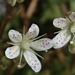 "<p><strong>Saxifraga bronchialis - Matted Saxifrage</strong></p><p><strong>Light: </strong><img src=""http://champoegnursery.com/wp-content/uploads/2014/09/icon_full_sun.gif""/> / <img src=""http://champoegnursery.com/wp-content/uploads/2014/09/icon_partial_shade.gif""/></p><p> <strong>Water: <img src=""http://champoegnursery.com/wp-content/uploads/2014/09/icon_dry.gif""/> / <img src=""http://champoegnursery.com/wp-content/uploads/2014/09/icon_moist.gif""/></p> <p> Max Height: </strong> 6  in. <strong> Max Width: </strong> 4  in. </p><p><strong>Description: </strong>This perennial evergreen has low green foliage and produces a stem with a beautiful white flower speckled with purple. <strong>Zone: </strong>  7-9</p><p><img src=""http://champoegnursery.com/wp-content/uploads/2014/09/icon_butterfly.gif""/>    </p>"