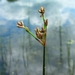 "<p><strong>Scirpus acutus - Hardstem Bulrush</strong></p><p><strong>Light: </strong><img src=""http://champoegnursery.com/wp-content/uploads/2014/09/icon_full_sun.gif""/> / <img src=""http://champoegnursery.com/wp-content/uploads/2014/09/icon_partial_shade.gif""/></p><p> <strong>Water: <img src=""http://champoegnursery.com/wp-content/uploads/2014/09/icon_wet.gif""/> / <img src=""http://champoegnursery.com/wp-content/uploads/2014/09/icon_moist.gif""/></p> <p> Max Height: </strong> 4 ft. <strong> Max Width: </strong> 2 ft. </p><p><strong>Description: </strong>This wetland plant has hard, round stems.  It grows in marshes and muddy areas and is good for filtration. <strong>Zone: </strong>  6-7</p><p>    <img src=""http://champoegnursery.com/wp-content/uploads/2014/09/icon_wildlife.gif""/></p>"
