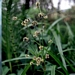 "<p><strong>Scirpus microcarpus - Small-Fruited Bulrush</strong></p><p><strong>Light: </strong><img src=""http://champoegnursery.com/wp-content/uploads/2014/09/icon_full_sun.gif""/> / <img src=""http://champoegnursery.com/wp-content/uploads/2014/09/icon_partial_shade.gif""/></p><p> <strong>Water: <img src=""http://champoegnursery.com/wp-content/uploads/2014/09/icon_wet.gif""/> / <img src=""http://champoegnursery.com/wp-content/uploads/2014/09/icon_moist.gif""/></p> <p> Max Height: </strong> 5 ft. <strong> Max Width: </strong> 2 ft. </p><p><strong>Description: </strong>This wetland plant produces clusters of short spikelets and prefers swampy areas. <strong>Zone: </strong>  5-7</p><p>    <img src=""http://champoegnursery.com/wp-content/uploads/2014/09/icon_wildlife.gif""/></p>"